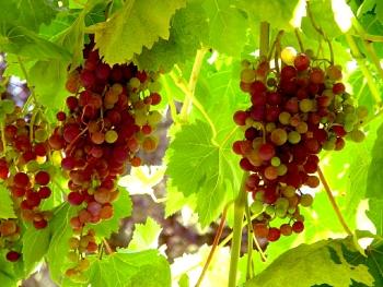 Grape_Vine