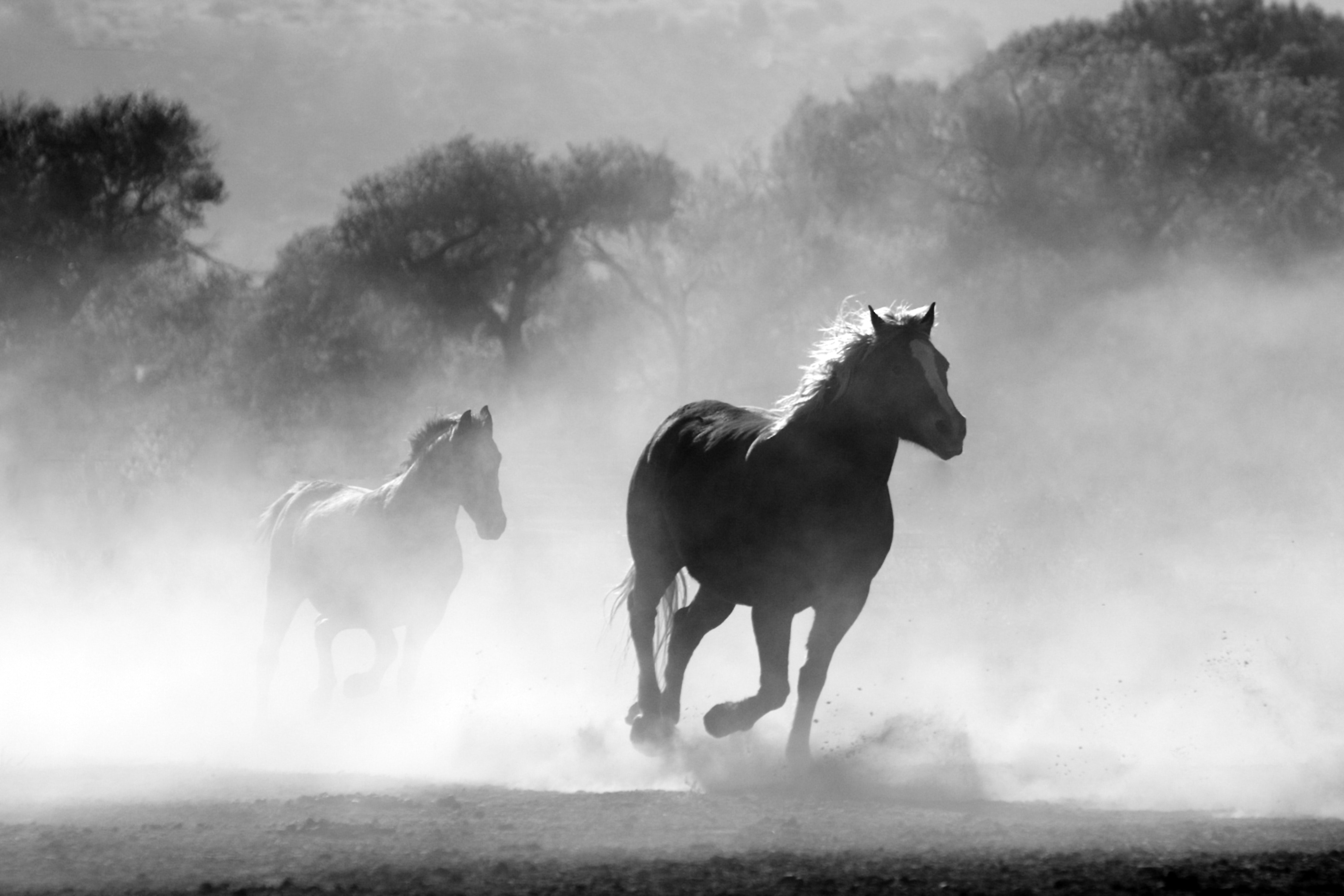 animals-black-and-white-equine-52500
