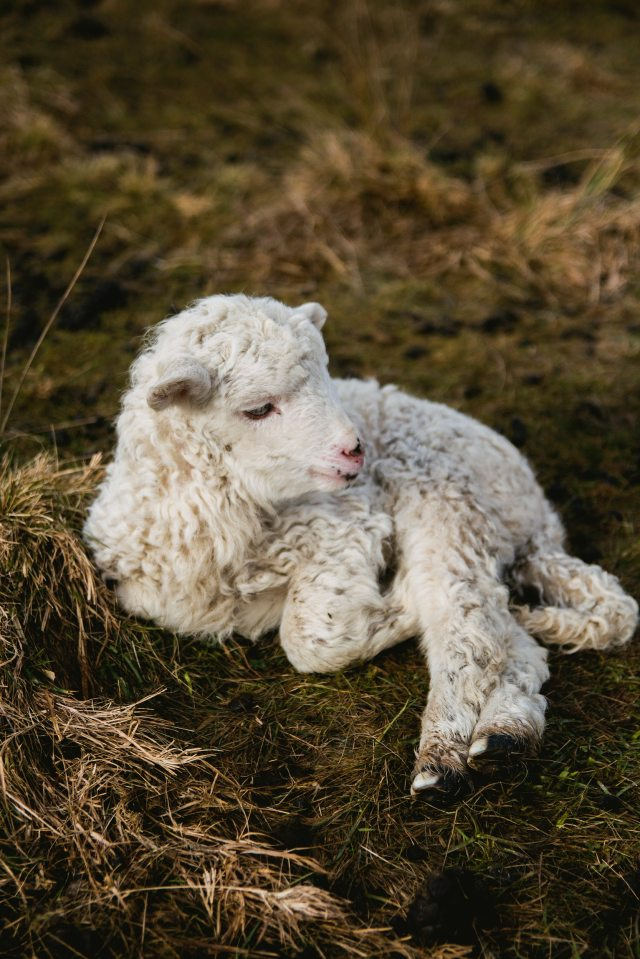 selective-photography-of-white-lamb-on-hay-891607.jpg
